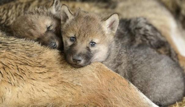 cuccioli lupo