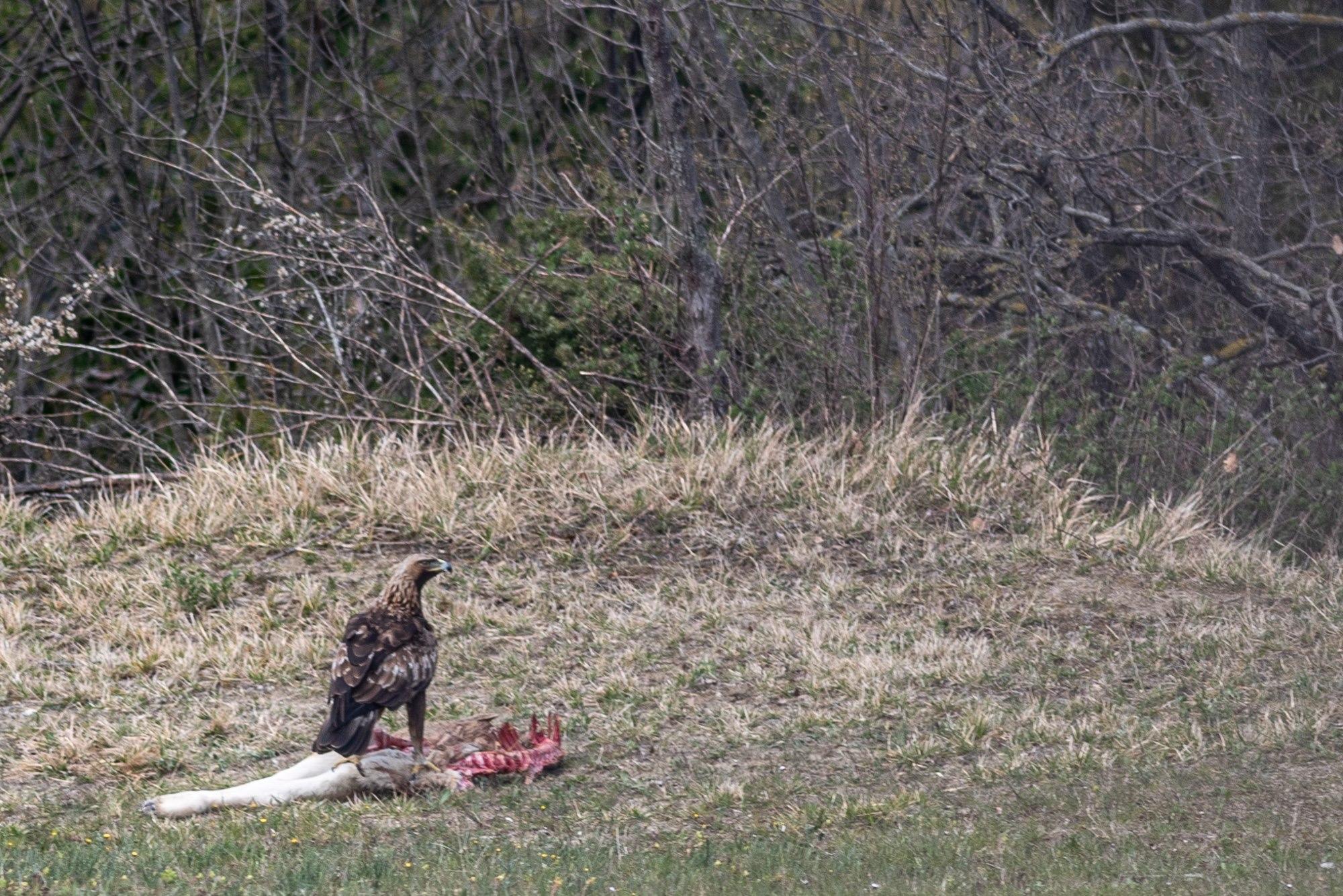 Aquila si nutre sulla carcassa di un vitello