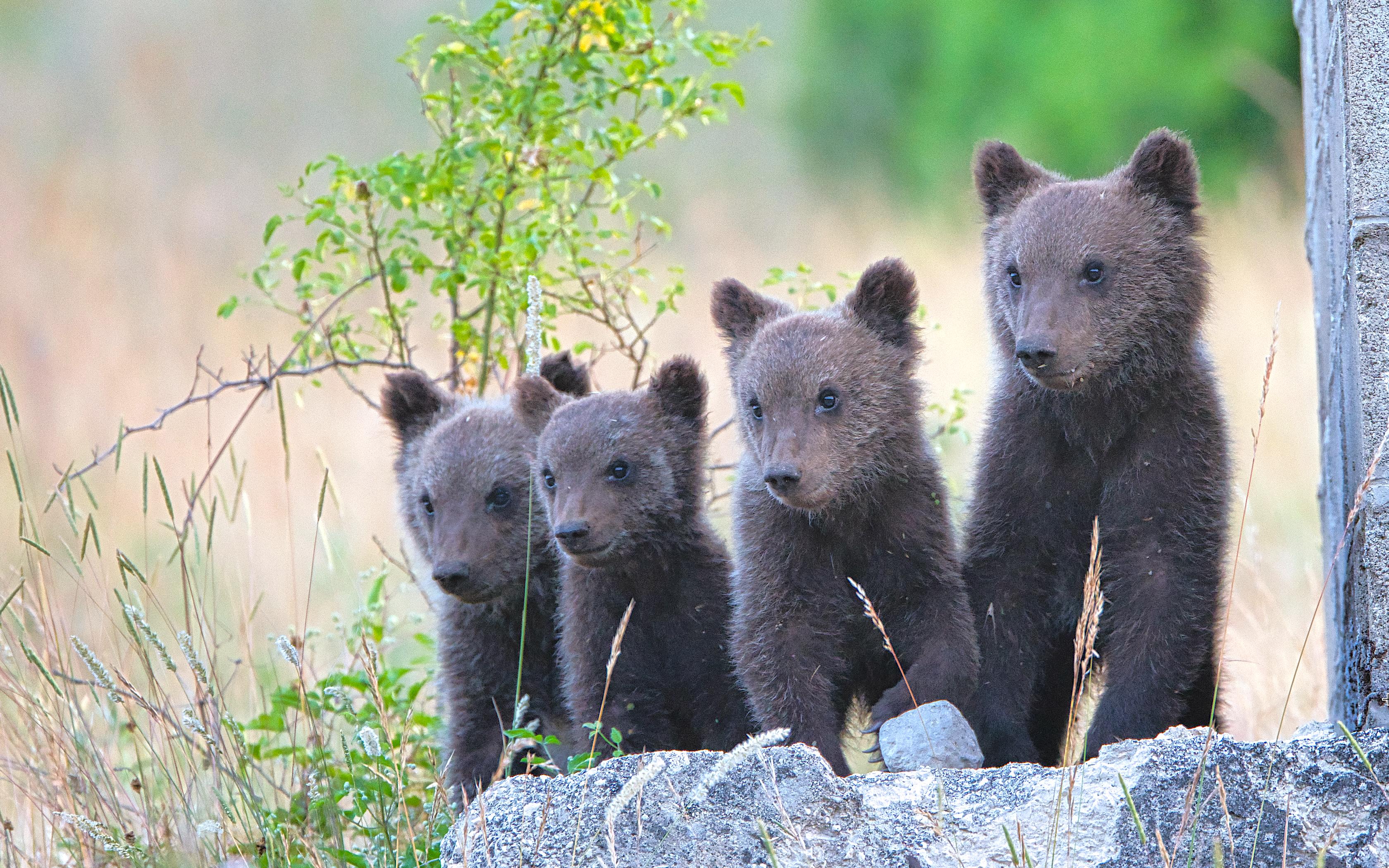 I quattro cuccioli di Orso