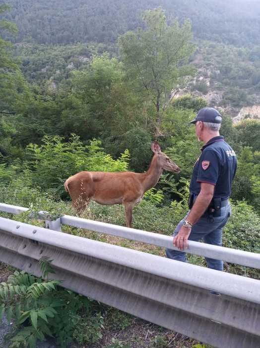 Un cervo messo in salvo dagli uomini della Polizia