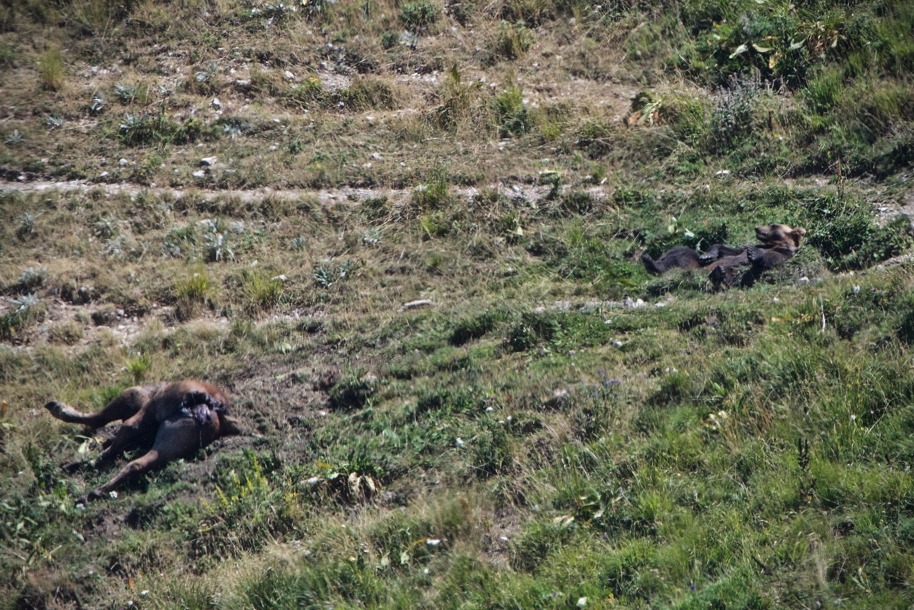 1) L'orso dorme a poche decine di metri dal cavallo, in maniera tale da riuscire a tenerlo sotto controllo nel caso in cui dovessero avvicinarsi altri predatori. In foto la posizione buffa assunta dal plantigrado a pancia all'aria. Foto di Gianpiero Cutolo