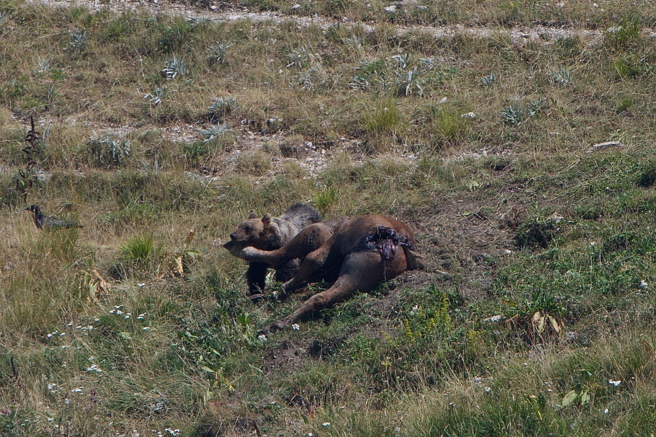 3) Seppure non troppo affamato l'orso incomincerà nuovamente a mangiare il cavallo, scacciando i gracchi che pian piano hanno tentato di avvicinarsi alla sua preda. Foto di Gianpiero Cutolo
