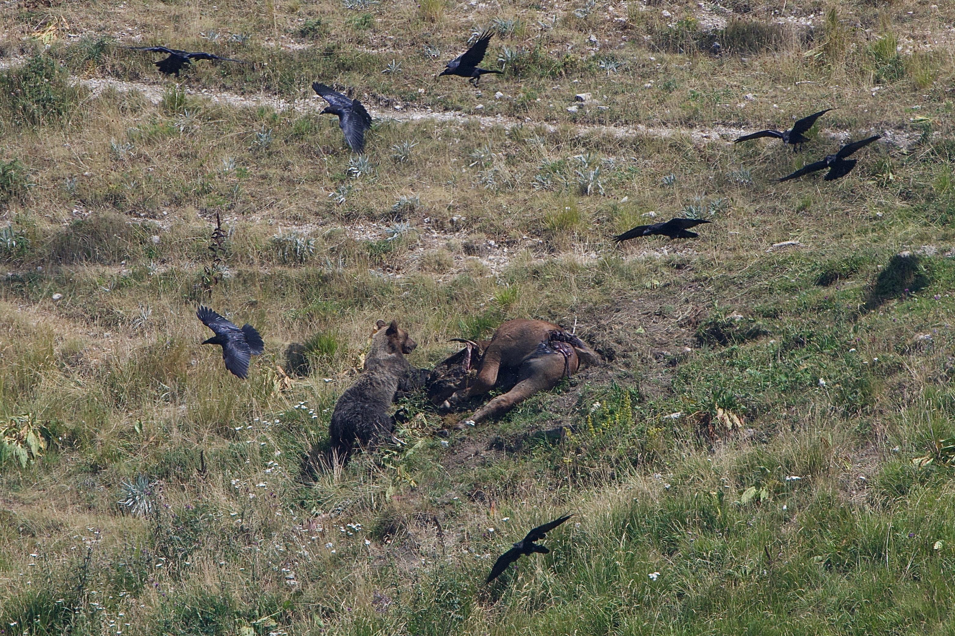 2) L'orso viene disturbato nel sonno dall'avvento dei gracchi e di ben trentaquattro grifoni che si avvicinano minacciosamente al cavallo, causando il risveglio dell'orso che si avvicinerà minacciosamente alla sua preda. Foto di Gianpiero Cutolo