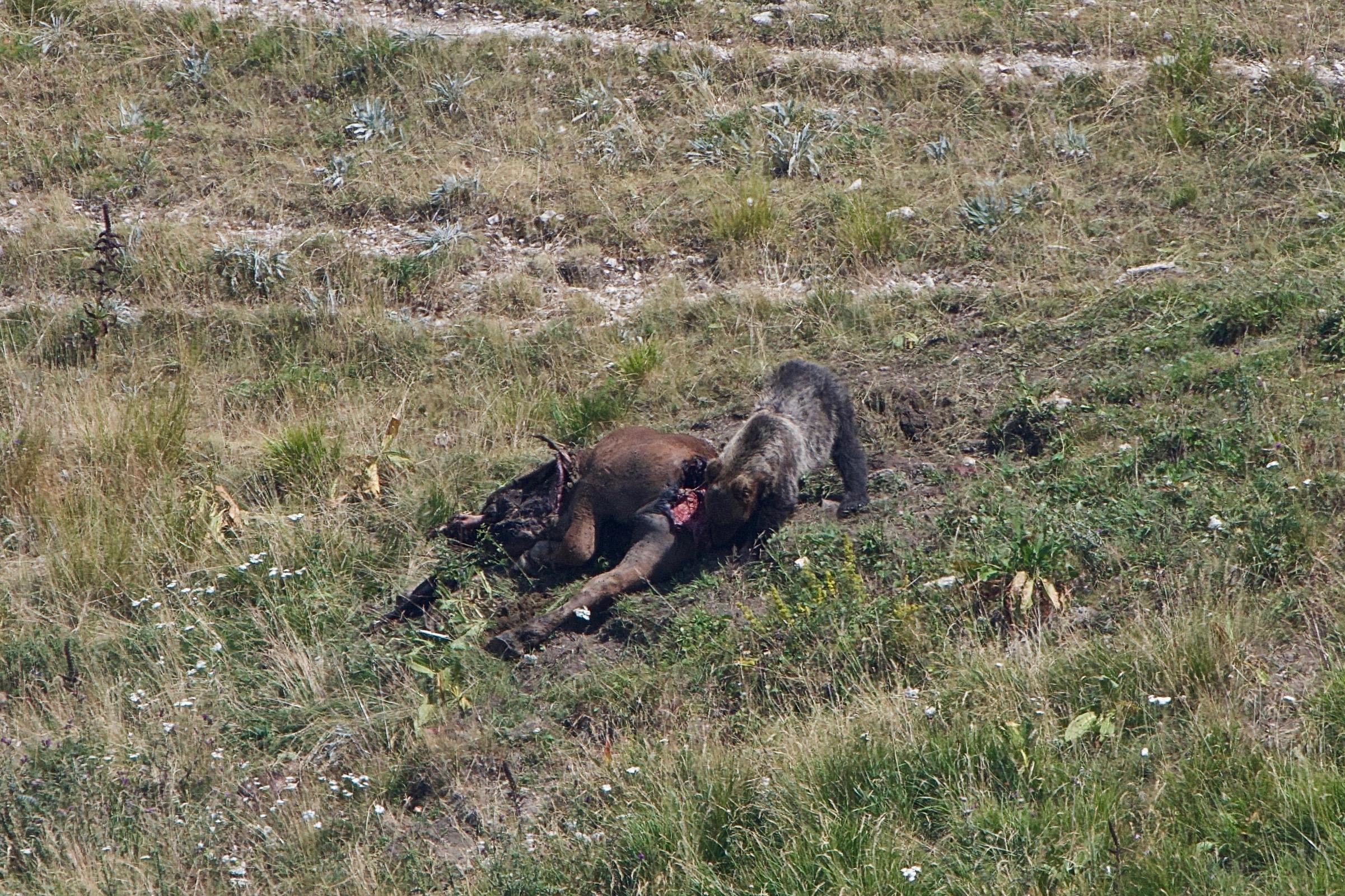 4) L'orso non più affamato dopo aver banchettato scaverà un giaciglio proprio nei pressi della sua preda, in modo tale da poterla tenere sotto controllo nel migliore dei modi. Foto di Gianpiero Cutolo